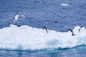 Photo of an iceberg with four penguins on it. One penguin is captured in mid-air as it leaps onto the iceberg from the sea