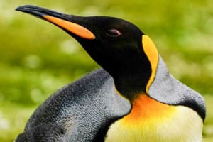 Photo of the colorful head of a King Penguin