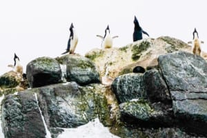 Five penguins standing on a rocky shelf looking skyward