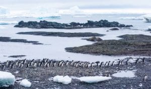 Photo of a long line of penguins walking along a rocky shore