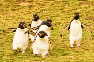Photo of five Rockhopper Penguins walking on a grassy slope