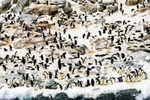 Photo of a snowy landscape filled with hundreds of Adelie Penguins