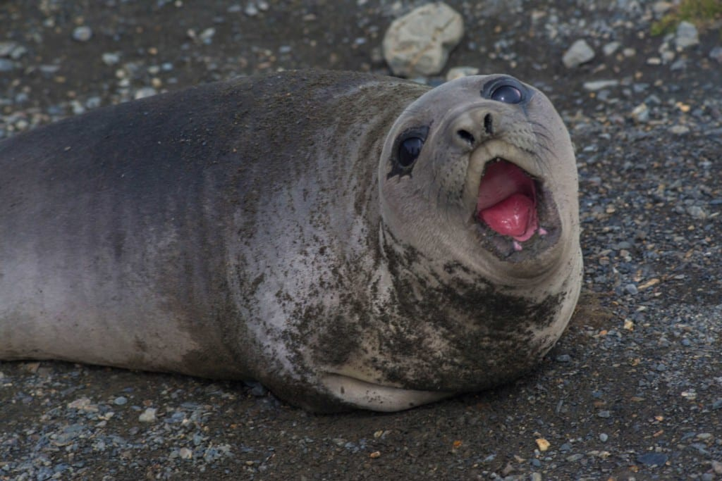 Elephant seal pup sm