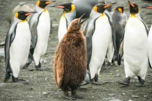 Photo of a group of king penguins and one oakum boy
