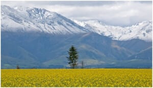 Photo of a yellow rapeseed field outside Christchurch, New Zealand