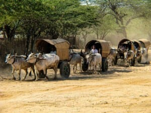 Photo of ox-drawn wagons returning from the marketplace in Myanmar