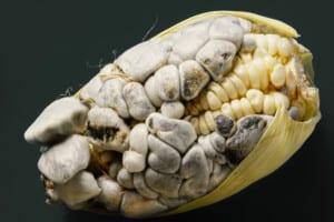 Photo of corn smut disease