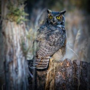 Photo of an owl on a stump